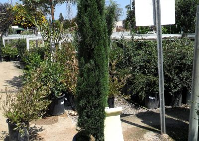 15-gal-italian-cypress-tiny-tower