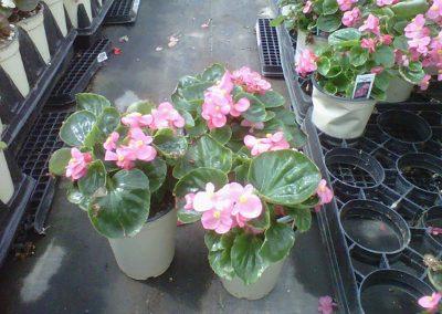 bada-bin-pink-4-inch-pot
