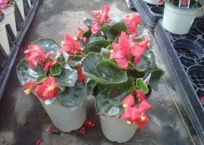 bada-bin-scarlet-4-inch-pot