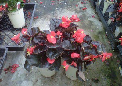 bada-boom-scarlet