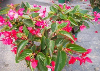 begonia-dragon-winn-1-gal