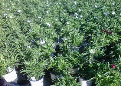 dianthus-4-inch-pot