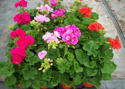 geranium-zonal-4-inch-pot-2