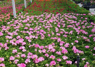 geranium-zonal-4-inch-pot