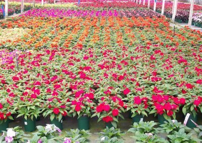 impatiens-new-guinea-red-1-gal