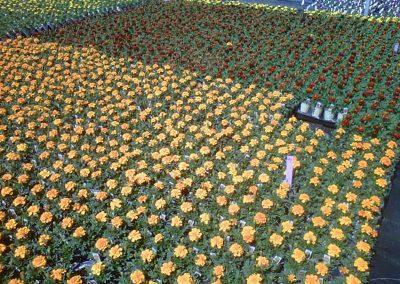 marigold-4-inch-pot