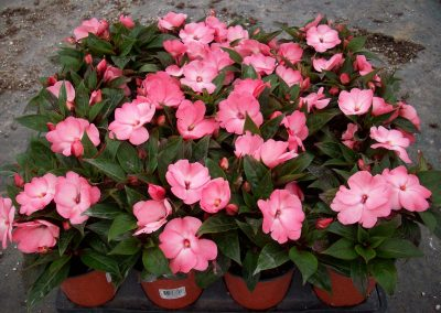 new-guinea-pink-impatiens-4-inch-pot