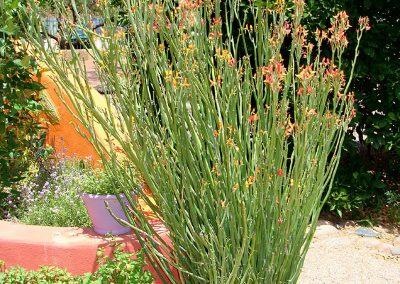 pedilanthus_macrocarpus_upright