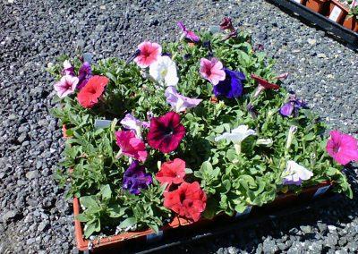 petunia-color-pack-flat