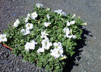 petunia-white-flat
