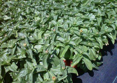 zinnia-magellan-yellow-6pk-of-6